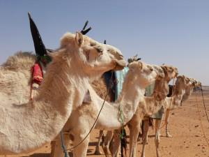 Image de chameaux pour illustrer l'adage voulant qu'un chameau soit un cheval conçu par un comité!