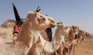 Images de chameaux dans le désert